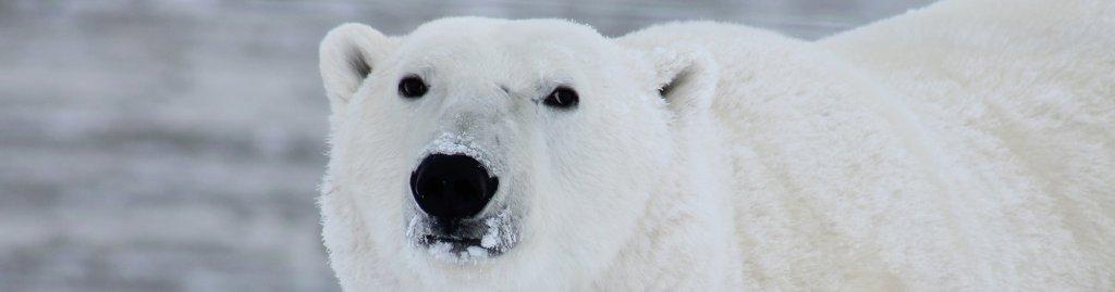 polar-bear-climate-change-environment